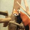 シーセンレッサ―パンダ