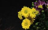 寒い朝も元気な菊