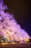 桜ライトアップ2017