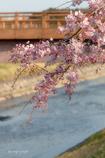 川と橋と桜とYシャツと私