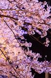 夜桜ドン!