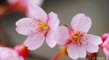 桜咲く <4>