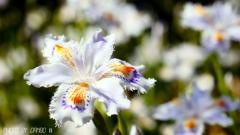 フリンジ調の花 <1>