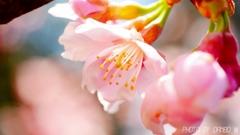 桜咲く <1>