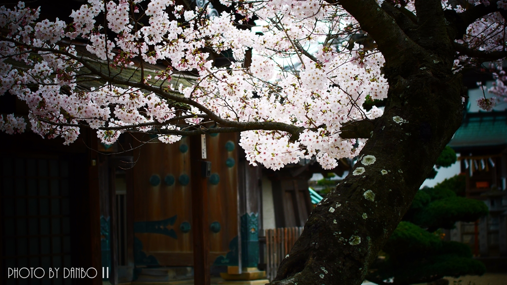 和と桜 <1>
