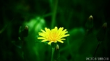 黄色い花 <1>