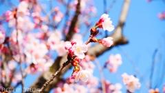 桜咲く <3>