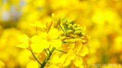 菜の花畑 <4>