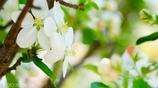 りんごの花ほころび <2>