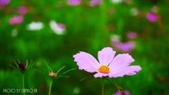 夏咲秋桜 <6>