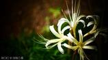 天上に咲く白花 <2>