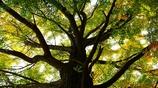 Ginkgo Tree <銀杏の木>