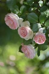 薔薇 ピエールドゥロンサール