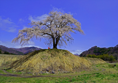 上発地枝垂れ桜 (広角)