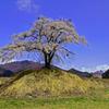上発地の枝垂れ桜