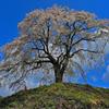上発知枝垂れ桜