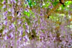 紫色の垂れ壁