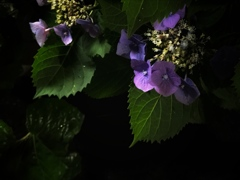 帰り道の紫陽花