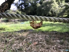 綱渡りミンミン