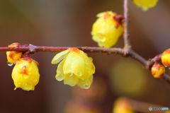 雨上がりの蝋梅