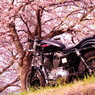 ハーレーと桜4