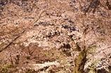 『❀.*・゚the 夜桜.゚・*.✿』
