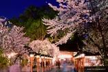 『・*.✿平野神社の夜桜✿...*゚』