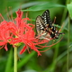 赤の曼珠沙華・蝶