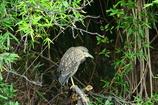 野鳥の島・アオサギ幼鳥