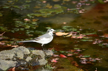 池の落葉・ハクセキレイ