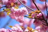 春・新宿御苑パート2