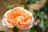オレンジ色・バラ