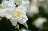 ホワイト・バラ