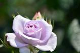 紫色・バラ