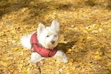 イチョウの絨毯の犬
