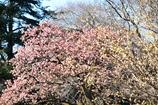 満開の寒桜とロウバイ