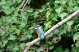 野鳥の島・カワセミ