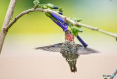蜜を吸うアンナハチドリ