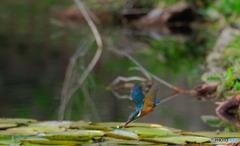 久しぶりの青い鳥