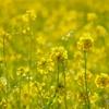 少し早い春 #3 @安城の菜の花畑