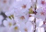 桜満開でした。#2 @豊田安城自転車道