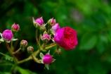 キングローズ開花中#2@我家のガーデニング