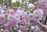 桜ふさふさ #2