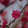 安城農林高校 梅園 紅梅#2