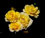 西尾のバラ#2