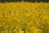 少し早い春 #2 @安城の菜の花畑