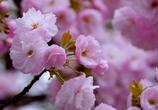 桜ふさふさ #1