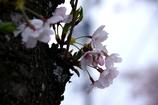 岡崎城公園 桜 老木