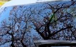 映る桜 @My Car
