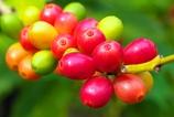 コーヒーの木の実(めっちゃカラフル)